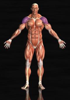 front shoulder muscles