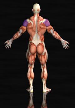 rear shoulder muscles